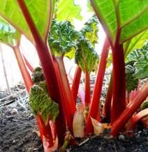 Rhubarb06